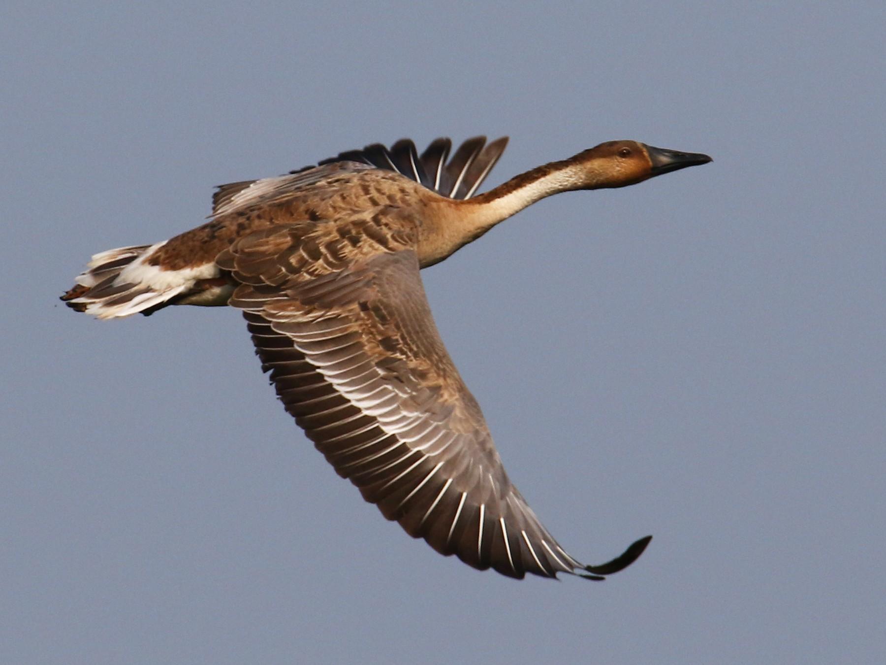 Swan Goose - Kuang-Ping Yu