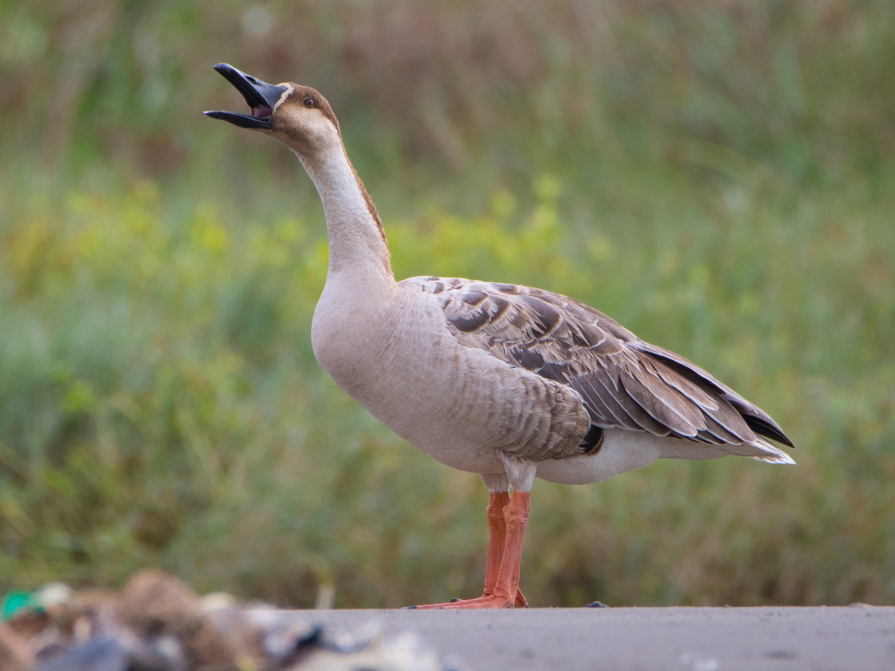 Swan Goose - You-Sheng Lin
