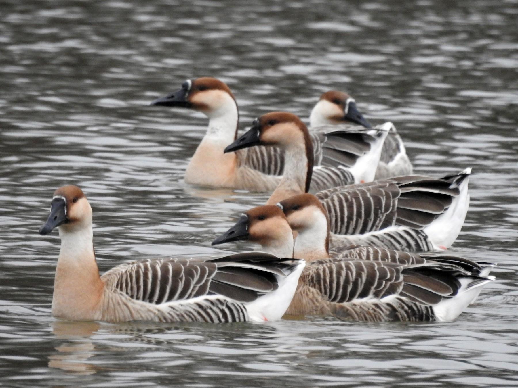 Swan Goose - Dirk Buschmann