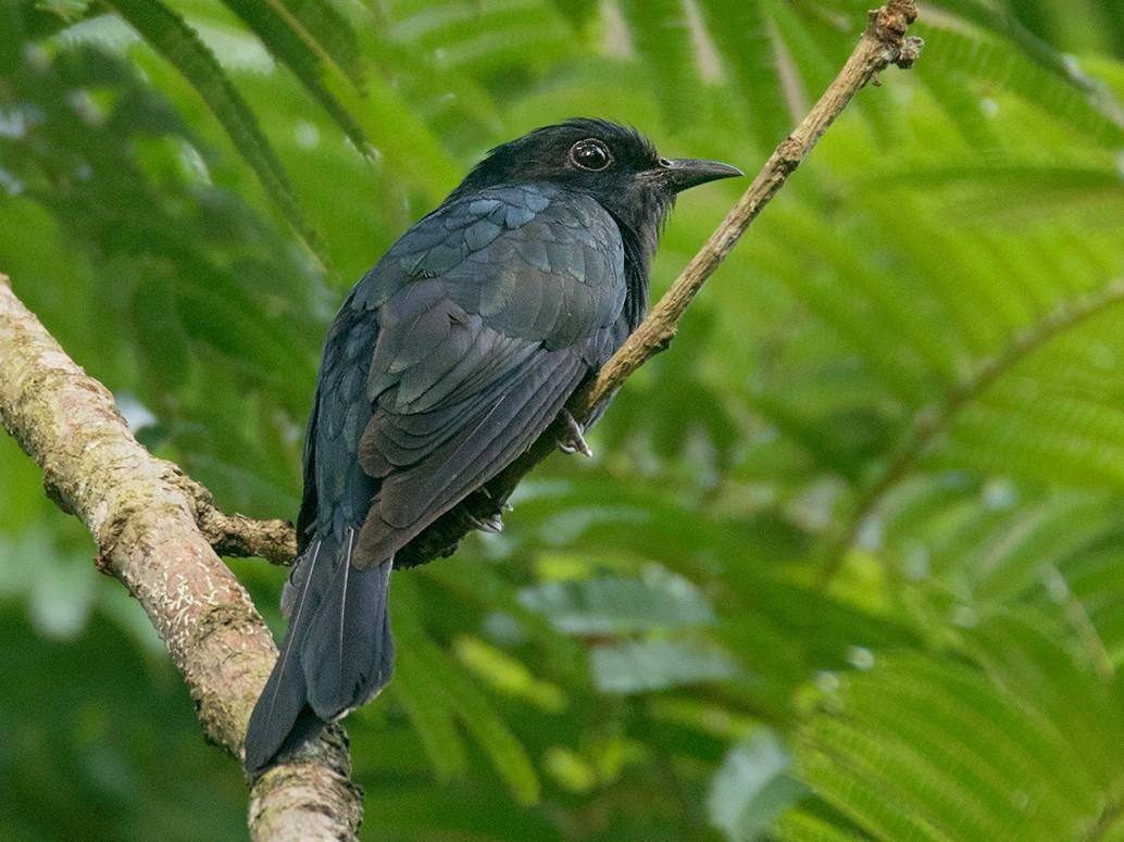 Square-tailed Drongo-Cuckoo - Ayuwat Jearwattanakanok