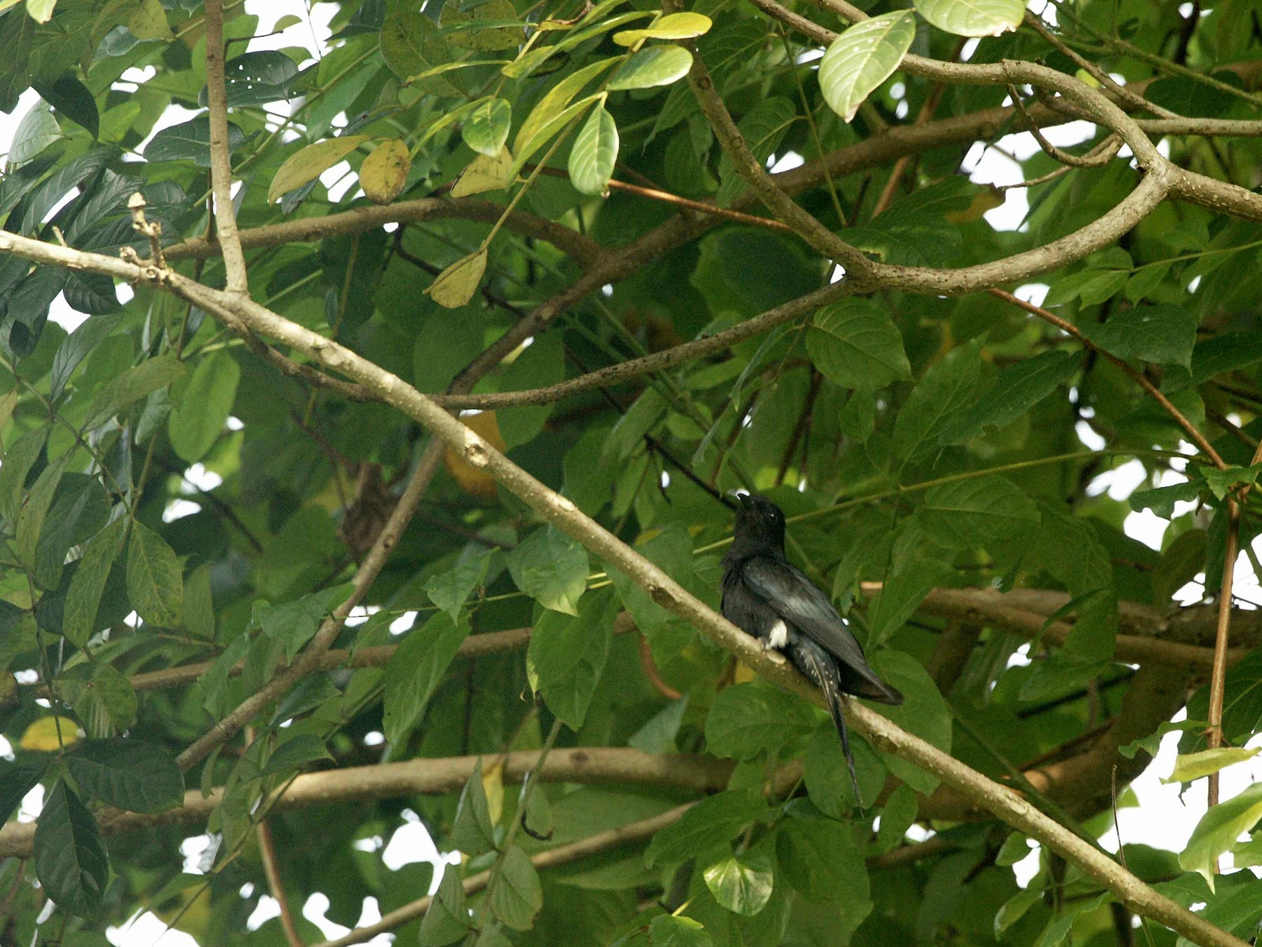 Square-tailed Drongo-Cuckoo - Kian Guan Tay