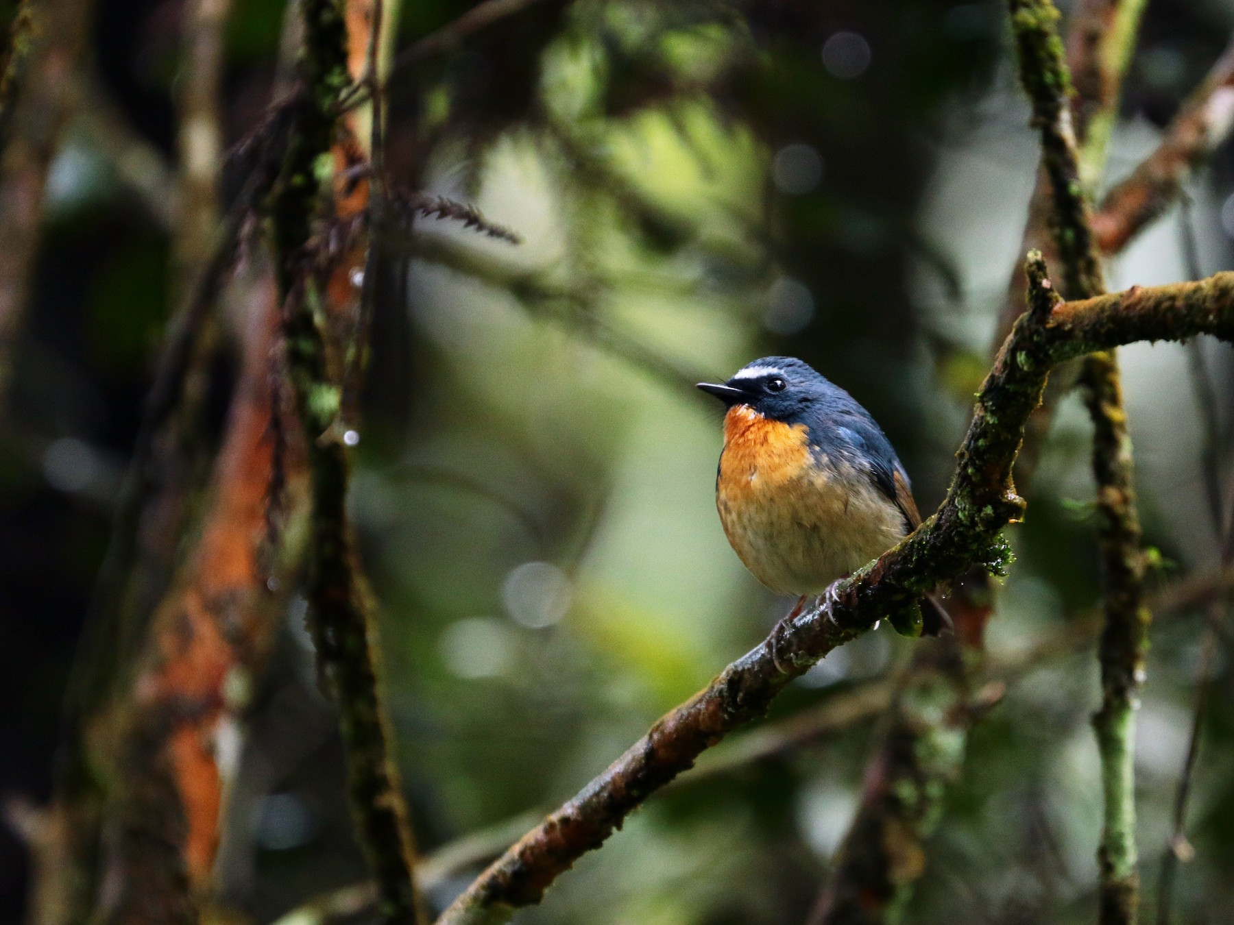 Snowy-browed Flycatcher - Han-Bo Chang