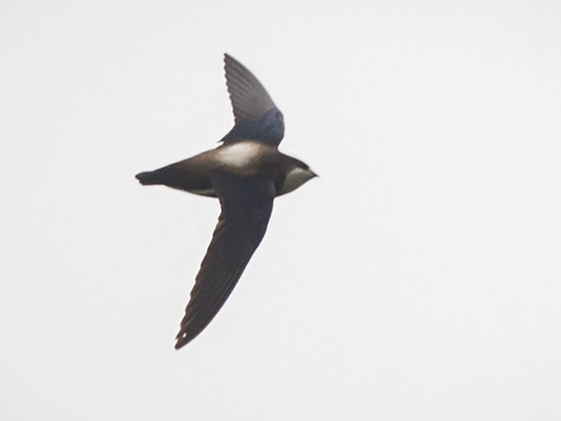 Silver-backed Needletail - John Clough