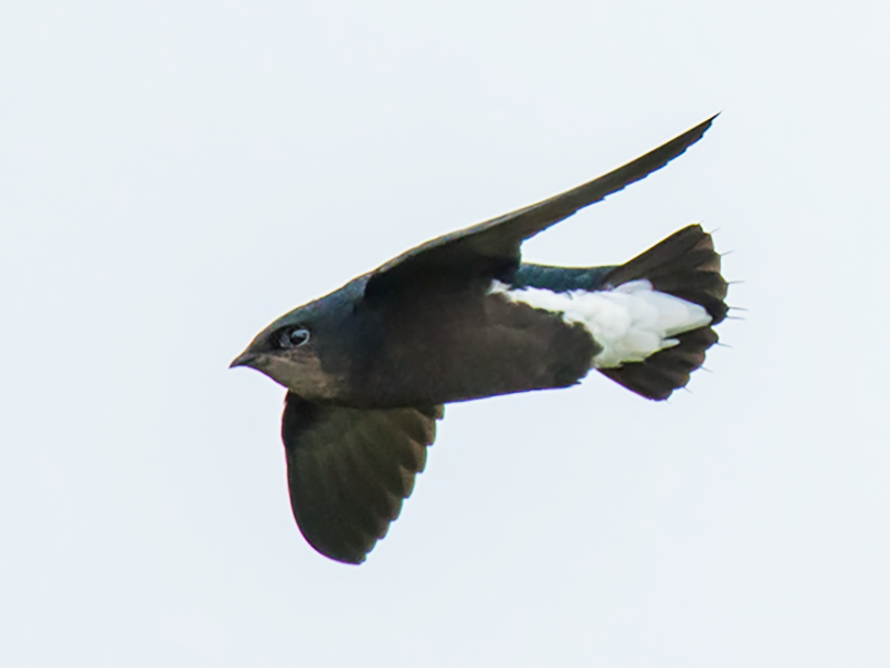 Silver-backed Needletail - Wich'yanan (Jay) Limparungpatthanakij