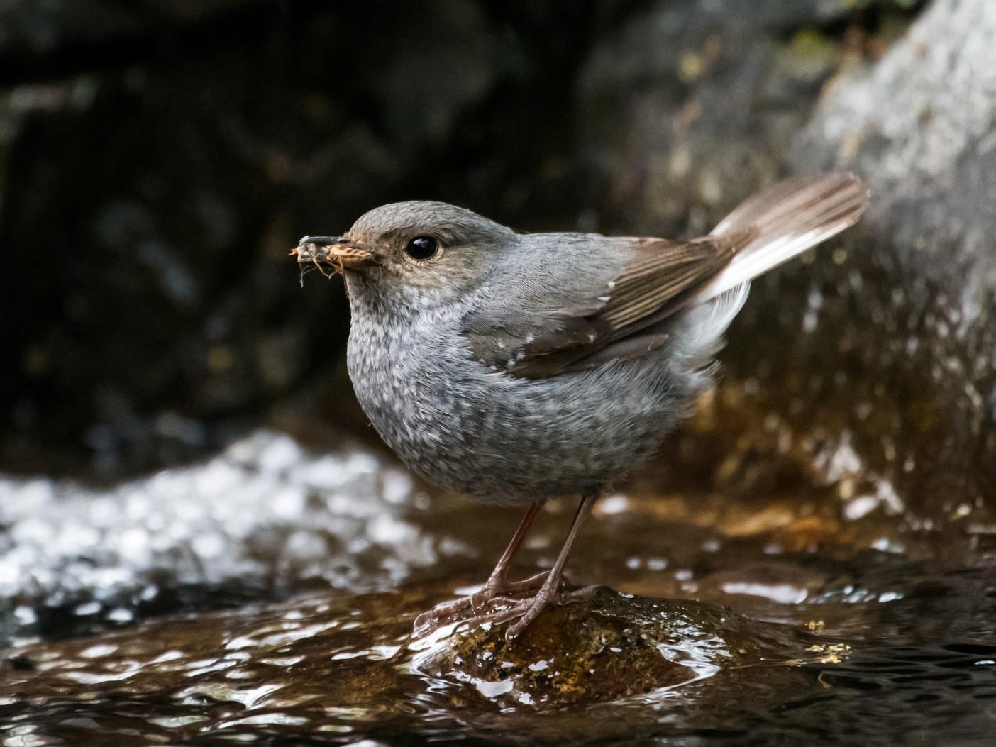 Plumbeous Redstart - Claudia Brasileiro