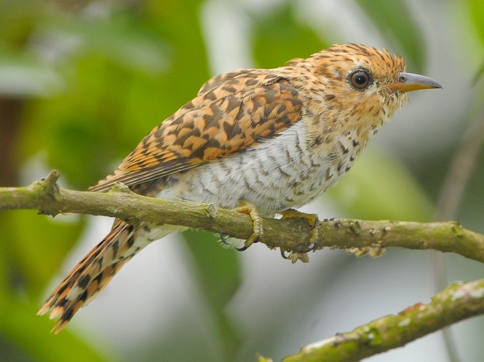 Plaintive Cuckoo - CT Goh