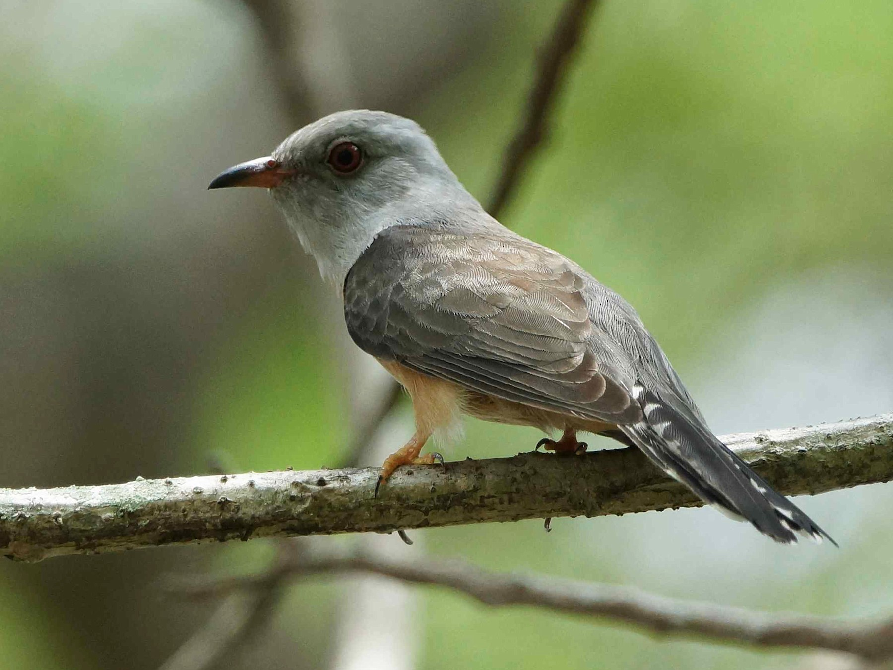 Plaintive Cuckoo - Kian Guan Tay