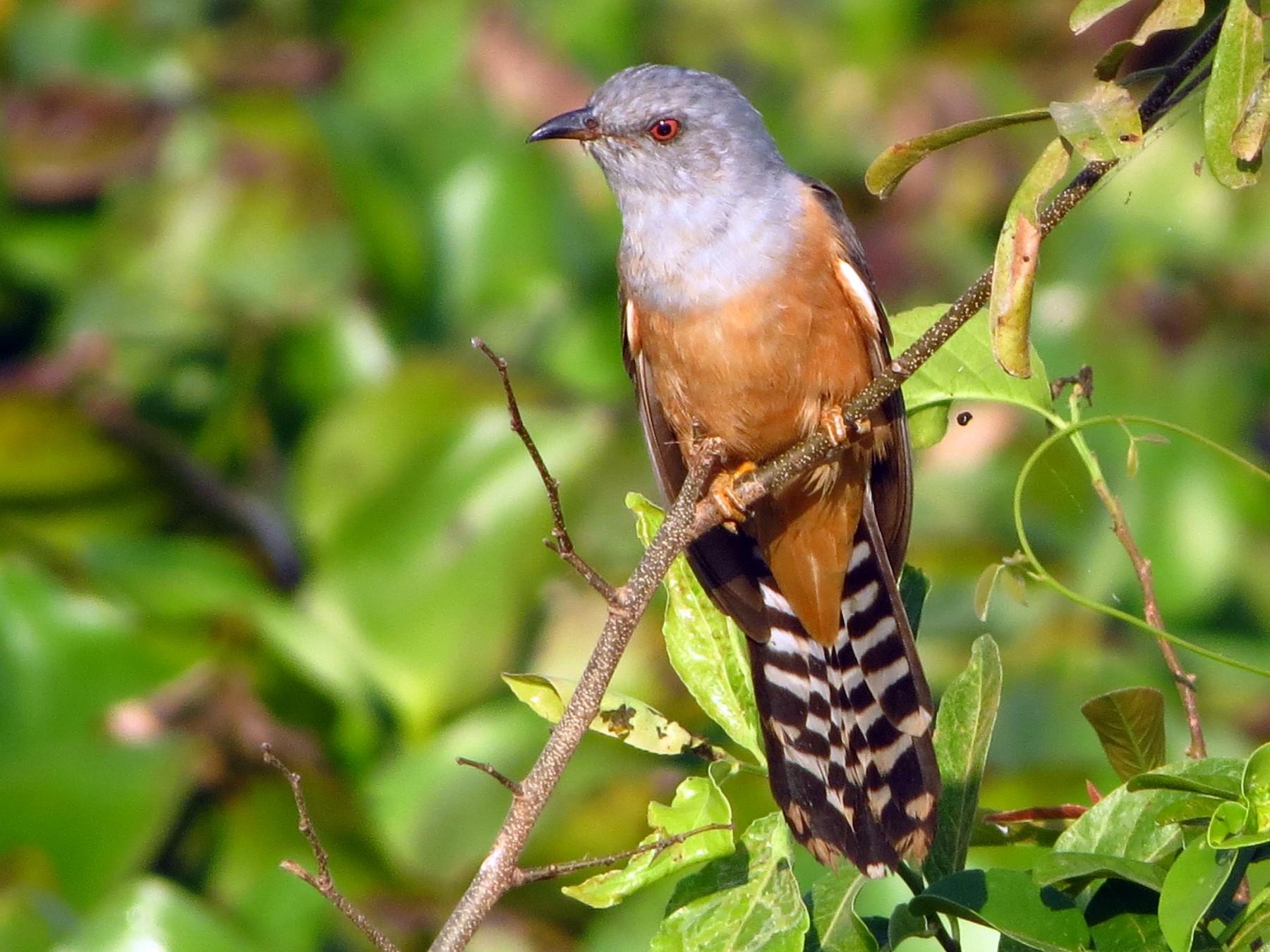 Plaintive Cuckoo - Tony  Yon