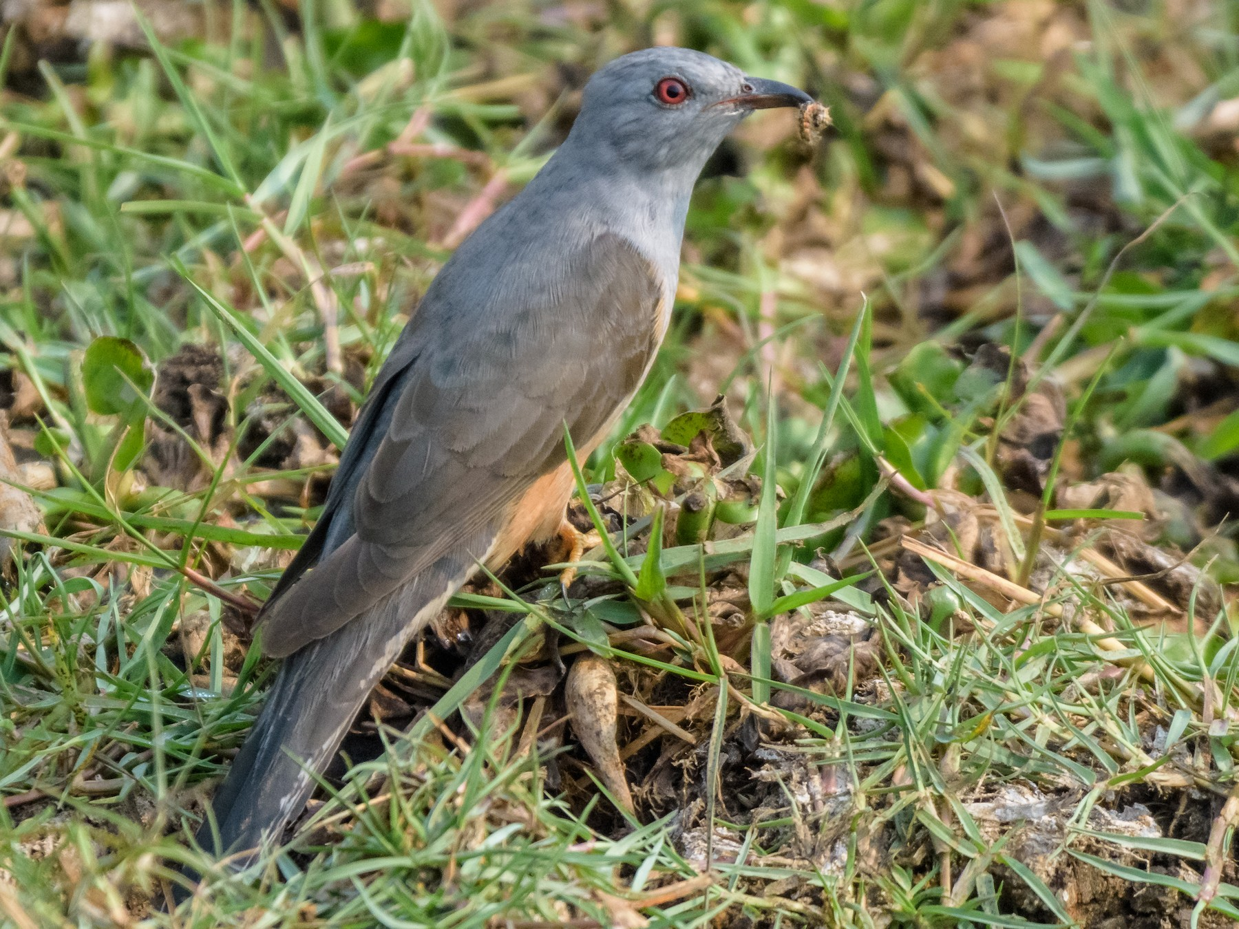 Plaintive Cuckoo - Balaji P B