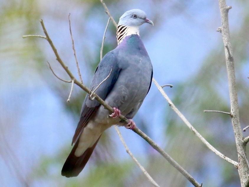 Ashy Wood-Pigeon - Cassie  Liu