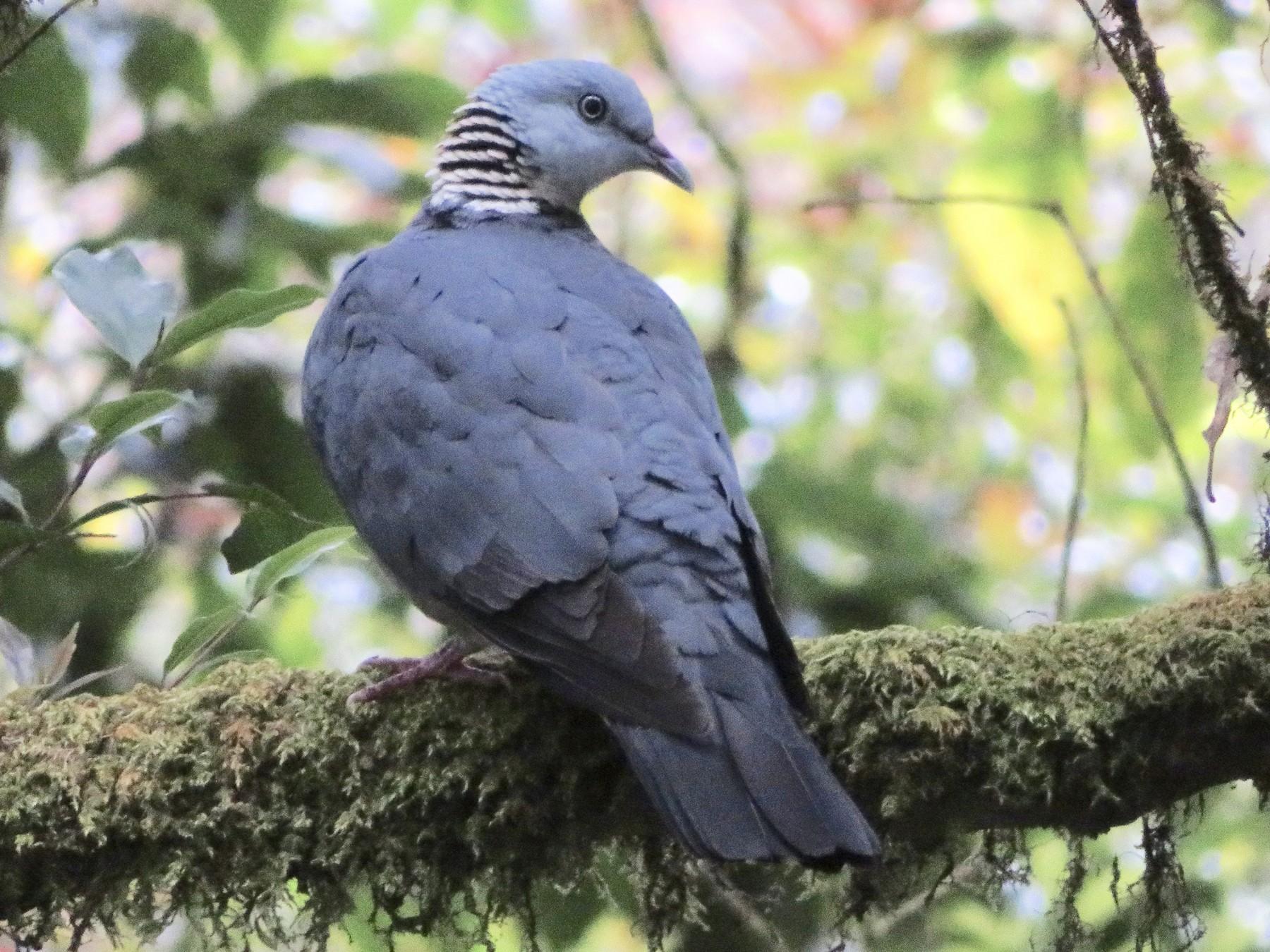 Ashy Wood-Pigeon - Xiuling Wei