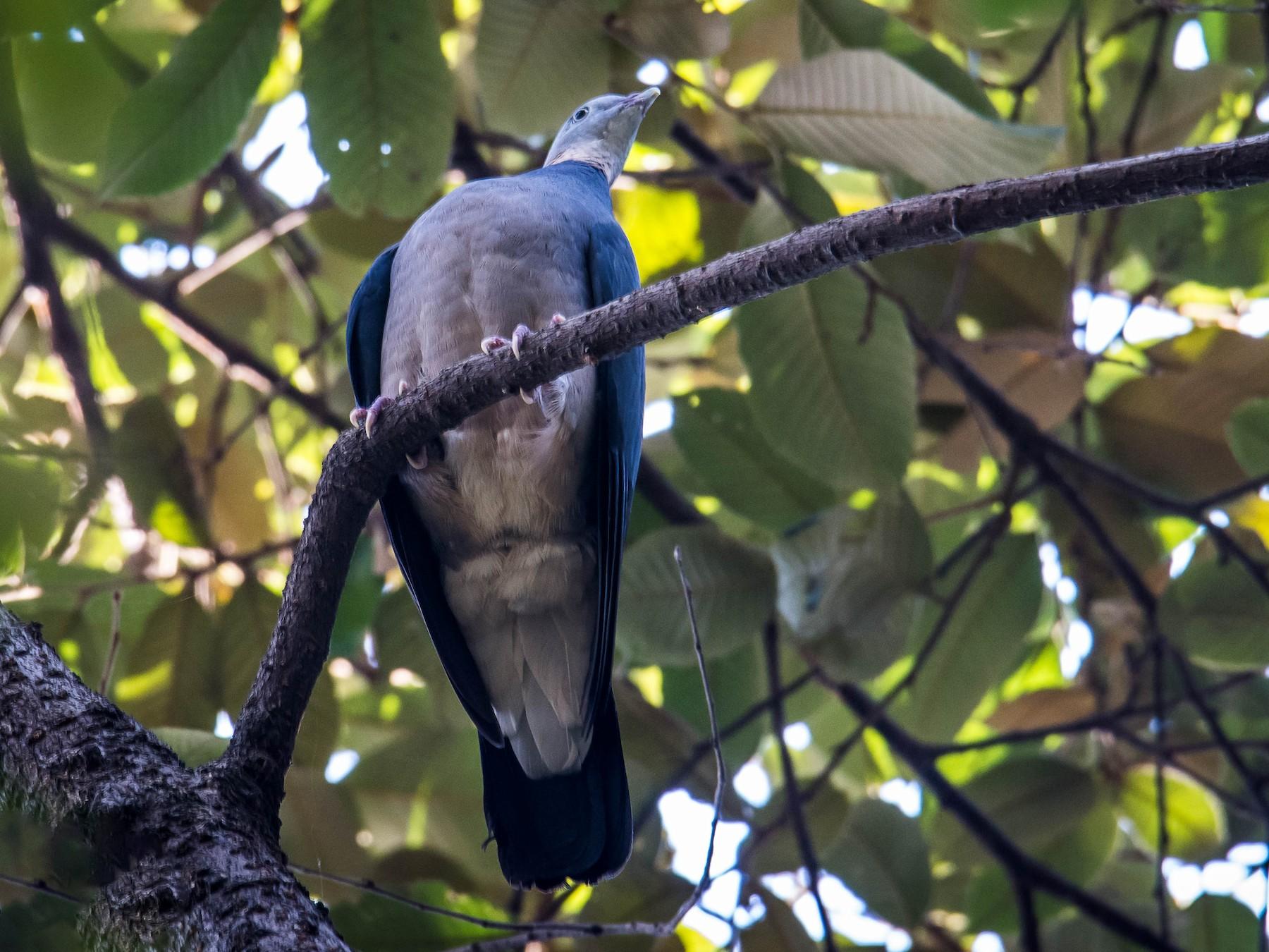 Ashy Wood-Pigeon - Pratap Gurung