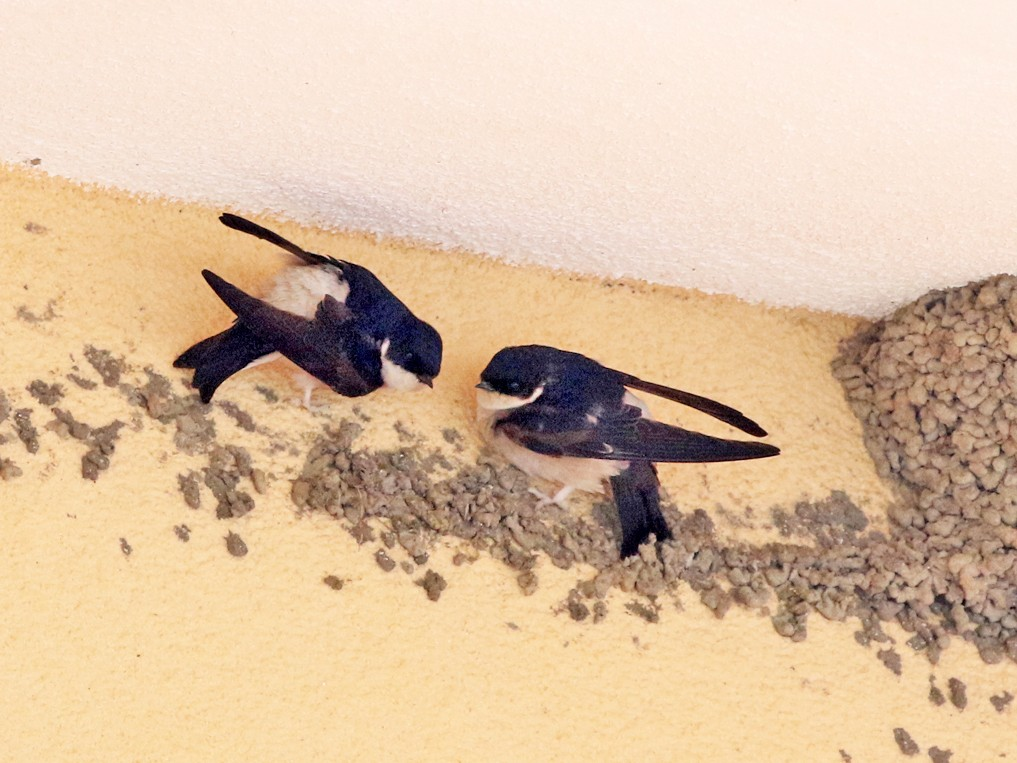 Asian House-Martin - Charley Hesse TROPICAL BIRDING