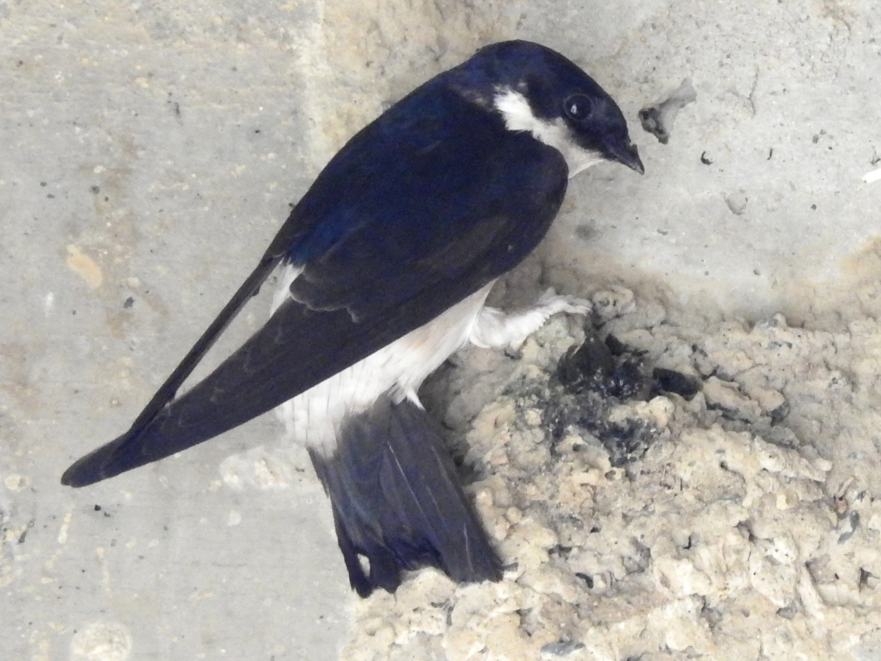 Asian House-Martin - Anonymous eBirder