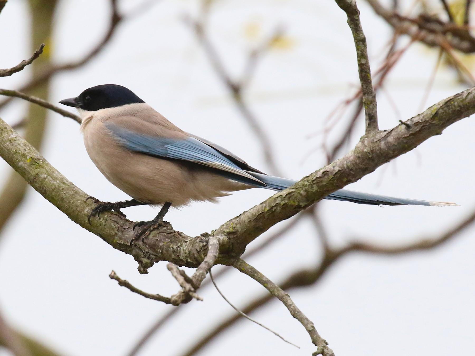Azure-winged Magpie - Knut Hansen