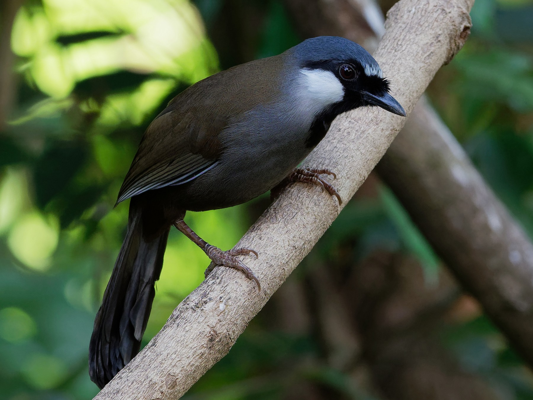 Black-throated Laughingthrush - Vincent Wang
