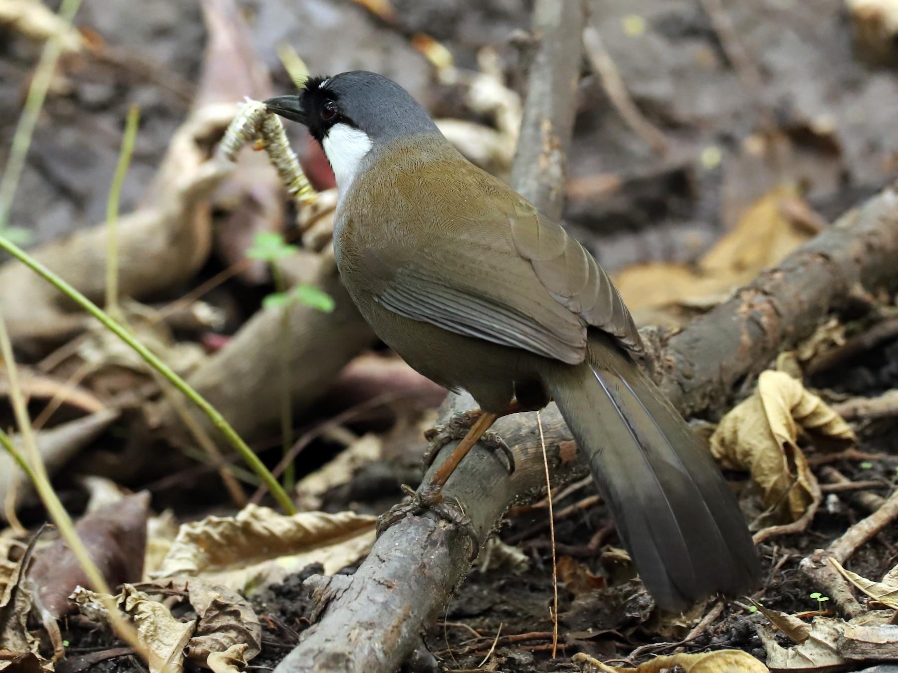 Black-throated Laughingthrush - Are Nakrem