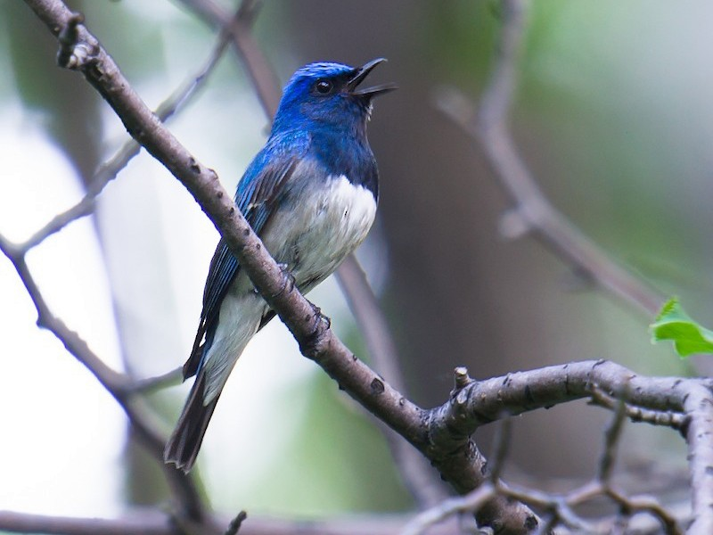 Blue-and-white Flycatcher - Craig Brelsford