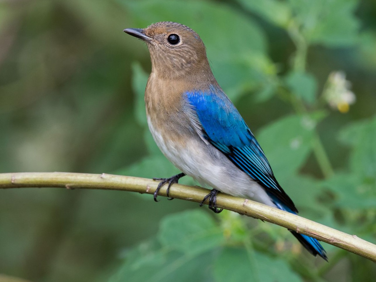 Blue-and-white Flycatcher - Kai Pflug