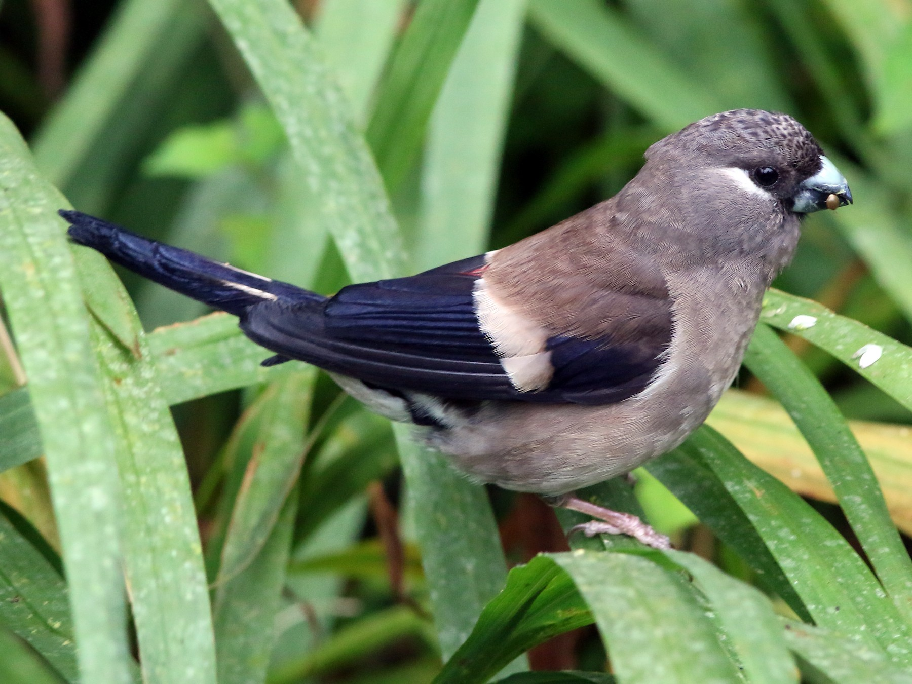 Brown Bullfinch - yu-wei Lee