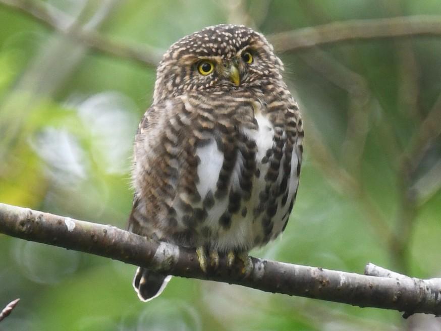 Collared Owlet - joseph leong