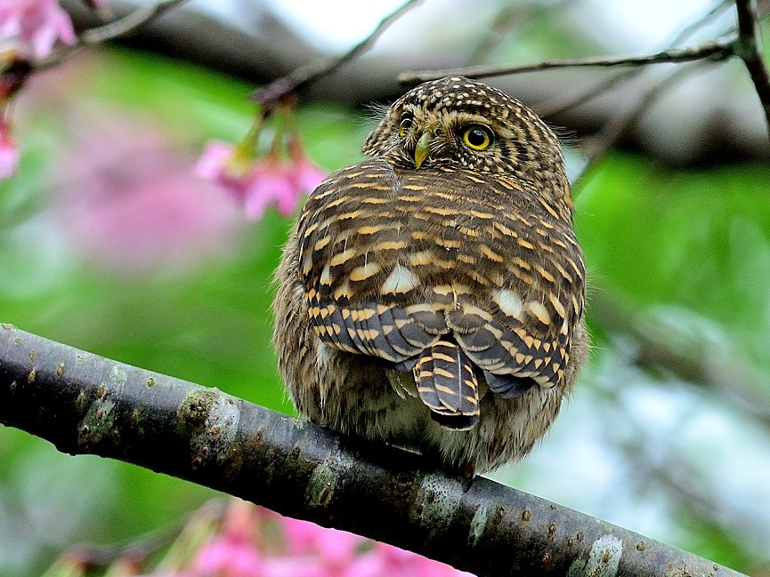 Collared Owlet - 文傑 CHUNG