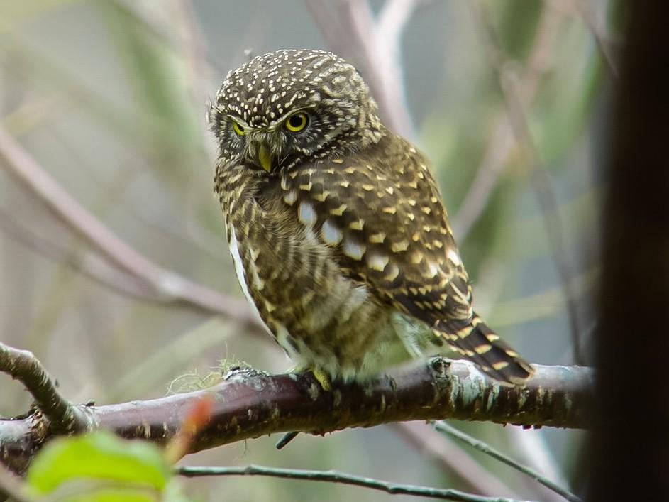 Collared Owlet - Irving Lu