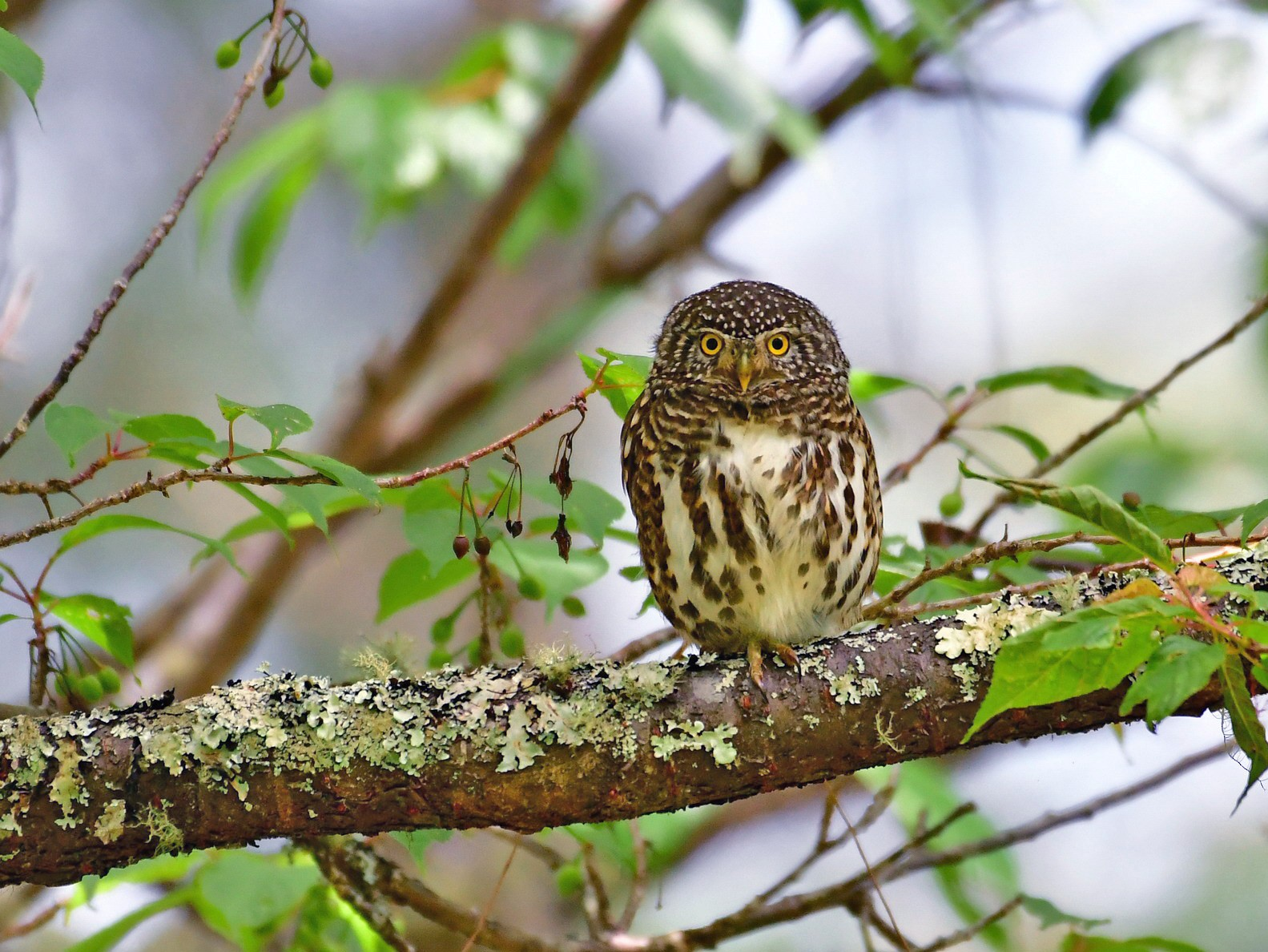 Collared Owlet - Anonymous eBirder