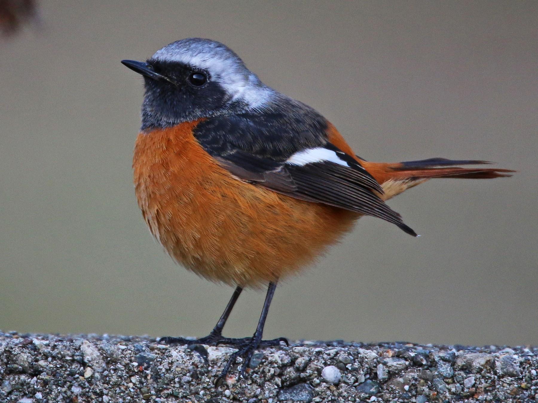 Daurian Redstart - Ian Davies