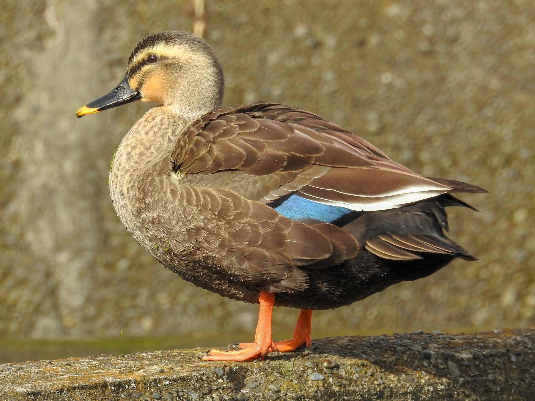 Eastern Spot-billed Duck - Anonymous eBirder