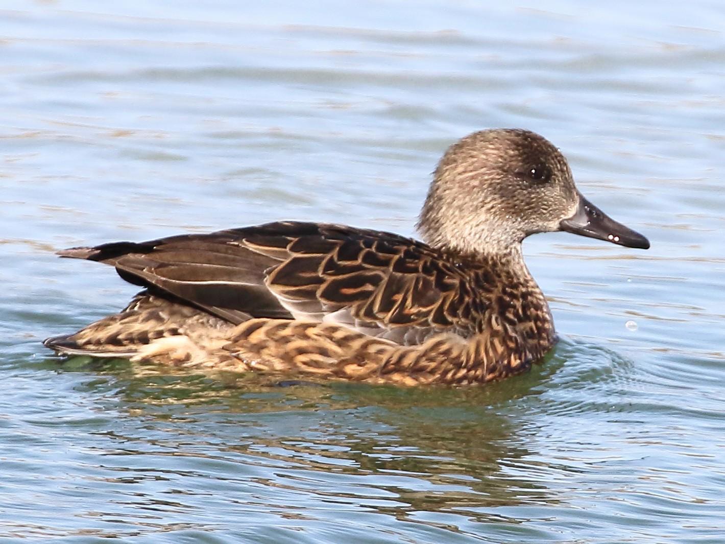 Falcated Duck - Christopher Escott