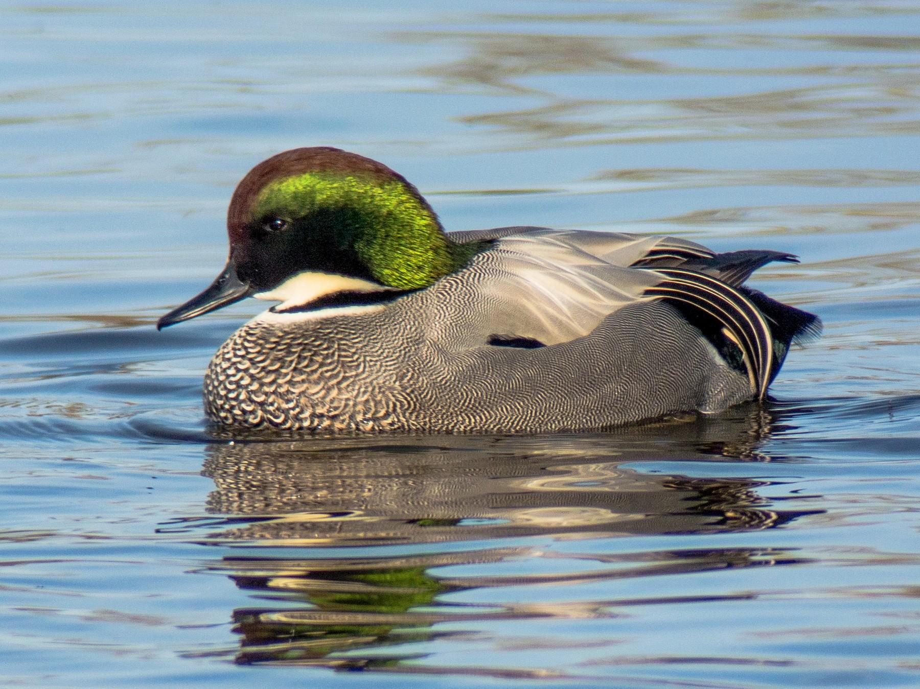 Falcated Duck - Len Blumin