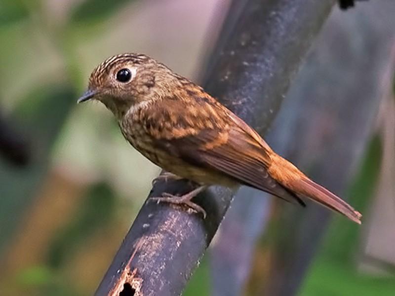 Ferruginous Flycatcher - Sandip Das