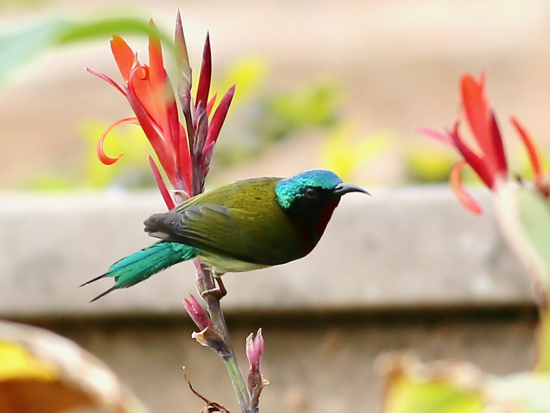 Fork-tailed Sunbird - Ting-Wei (廷維) HUNG (洪)