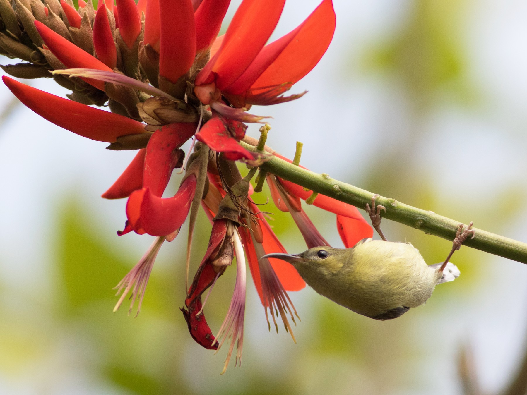 Fork-tailed Sunbird - Lucas Bobay