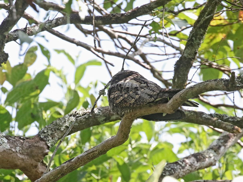 Gray Nightjar - Charley Hesse TROPICAL BIRDING