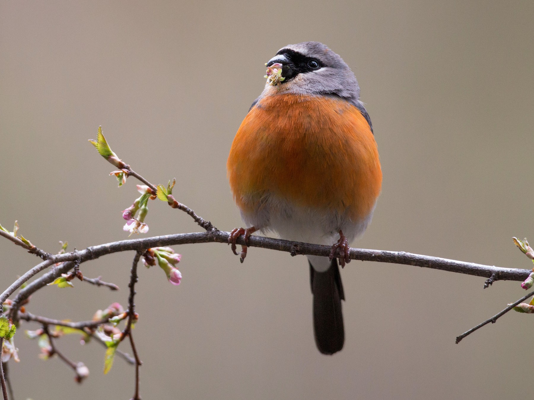 Gray-headed Bullfinch - Ian Davies