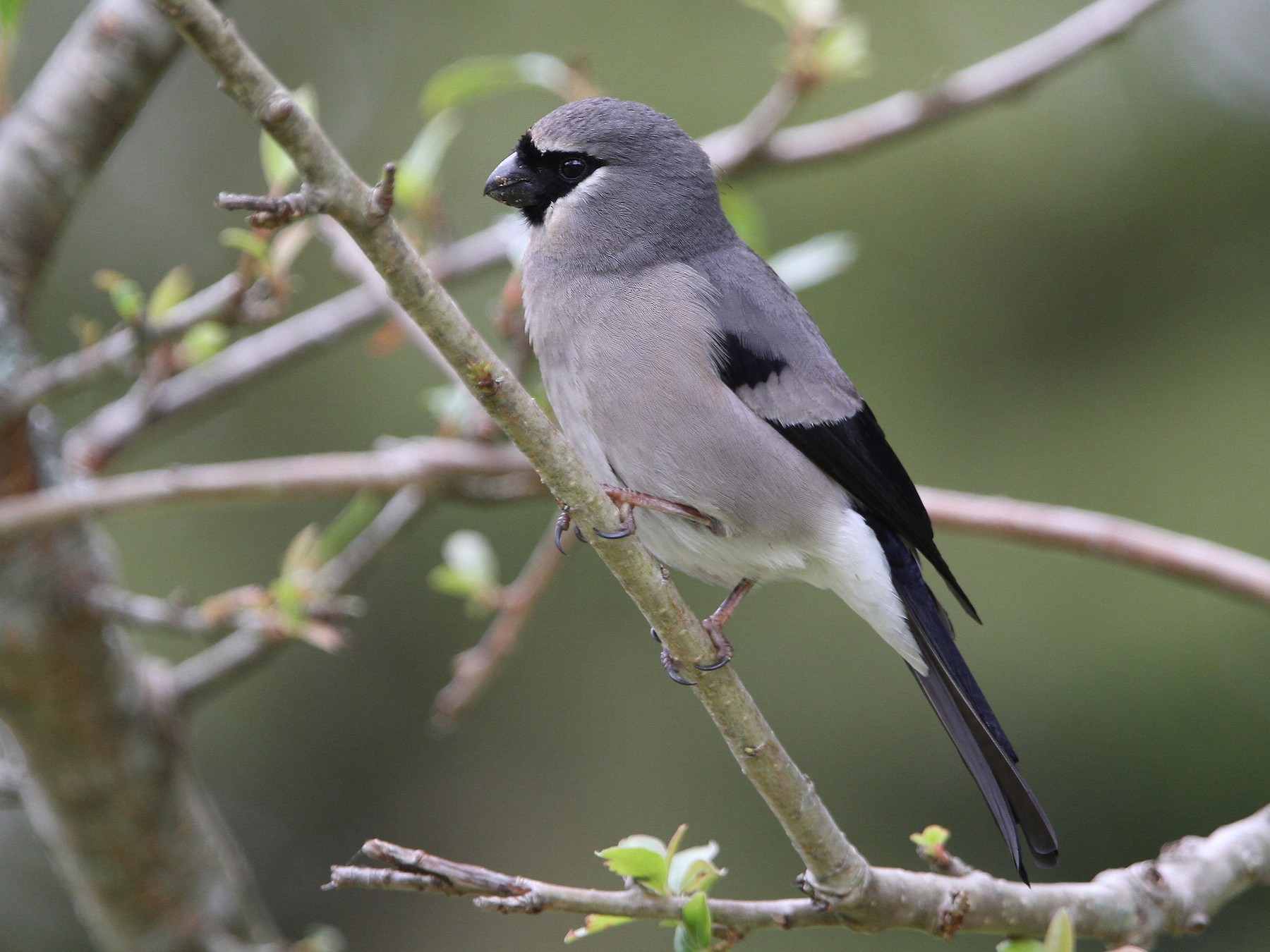 Gray-headed Bullfinch - Christoph Moning