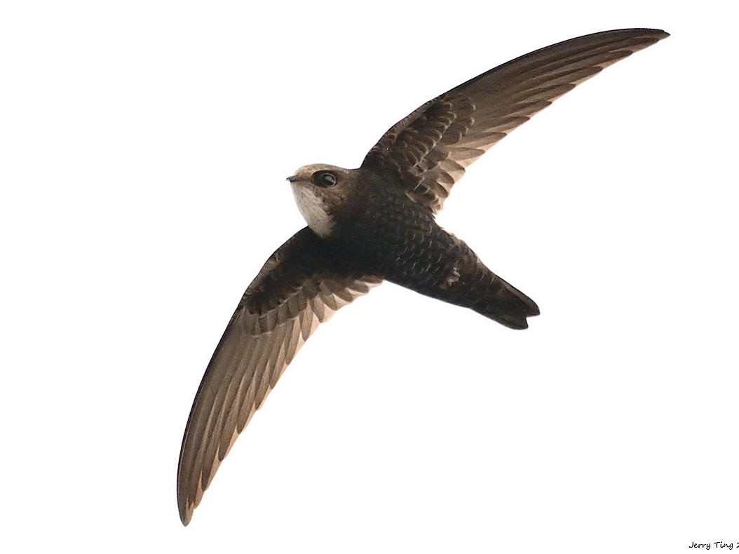 House Swift - Jerry Ting