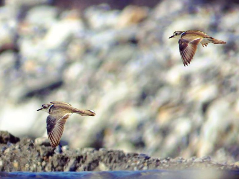 Long-billed Plover - Rajdeep Mitra