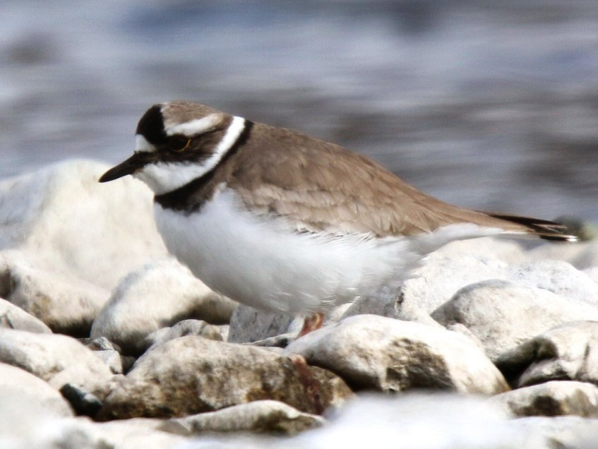 Long-billed Plover - Agus Jati