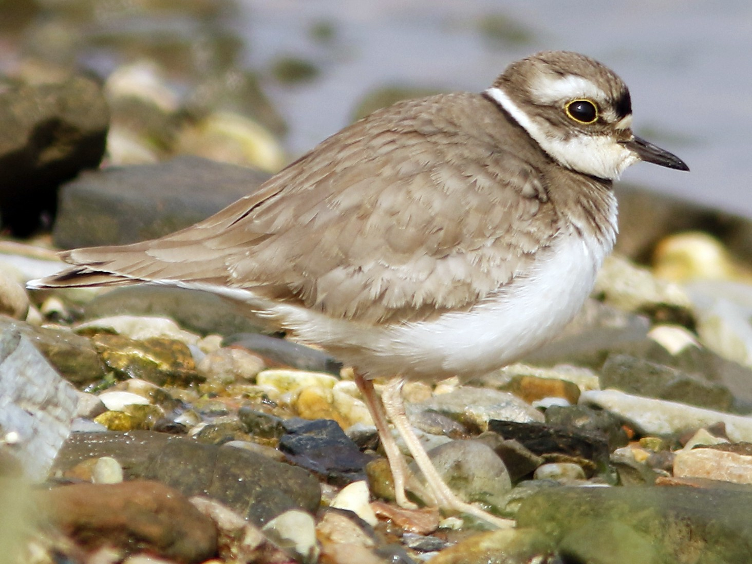 Long-billed Plover - David Beadle