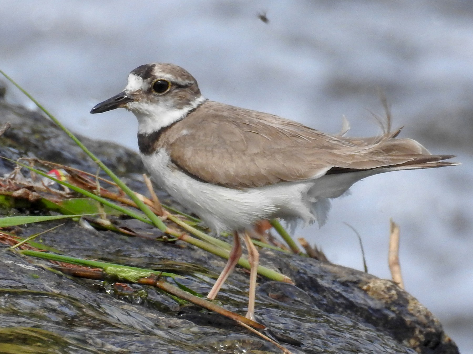 Long-billed Plover - Anonymous eBirder