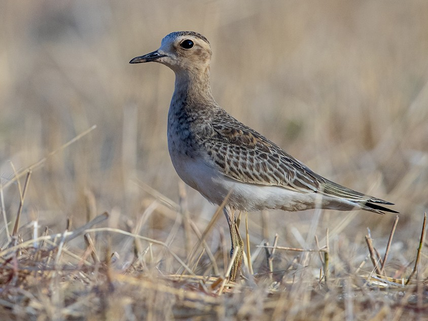 Oriental Plover - Laurie Ross | Tracks Birding & Photography Tours
