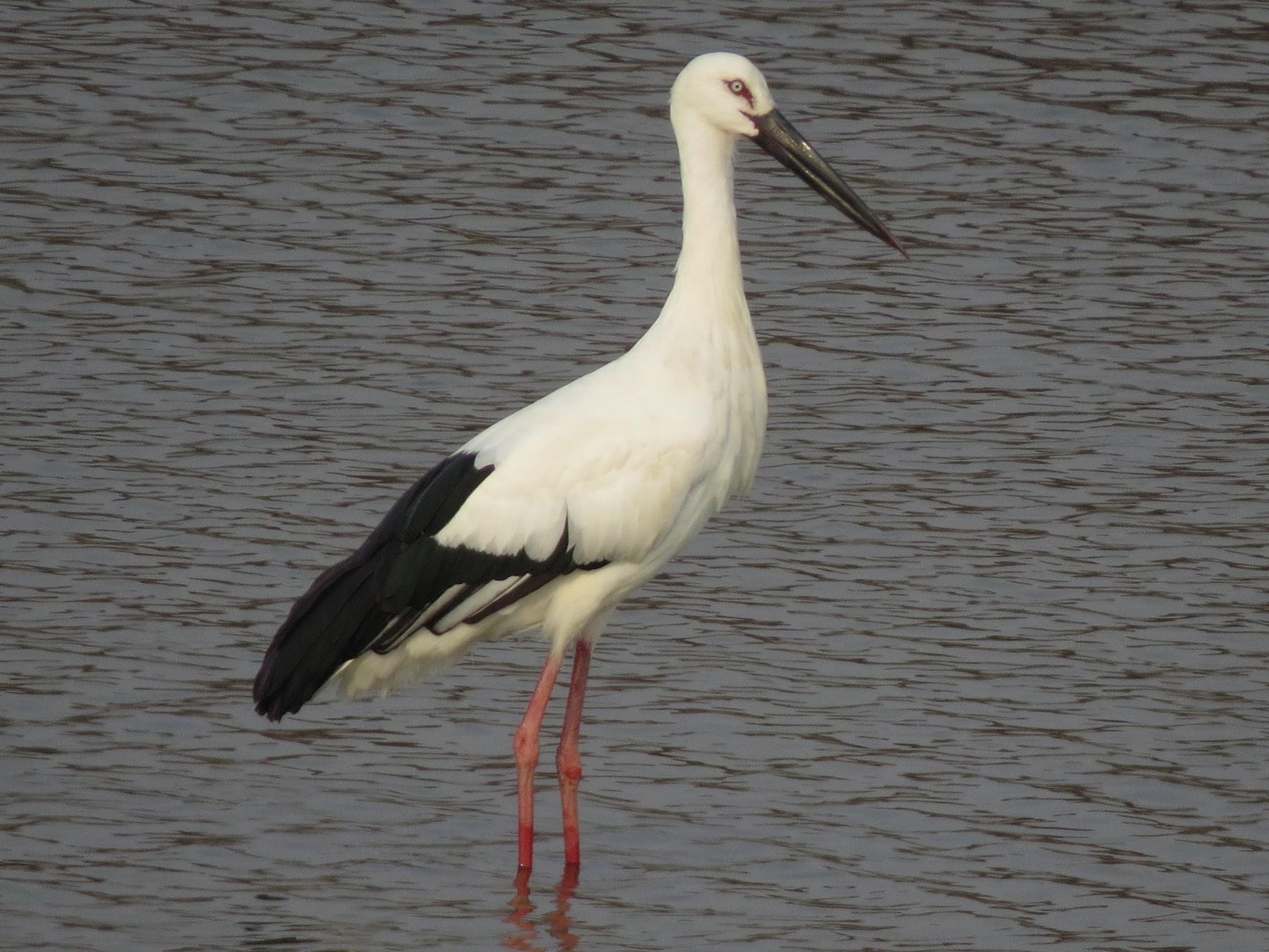 Oriental Stork - Cory
