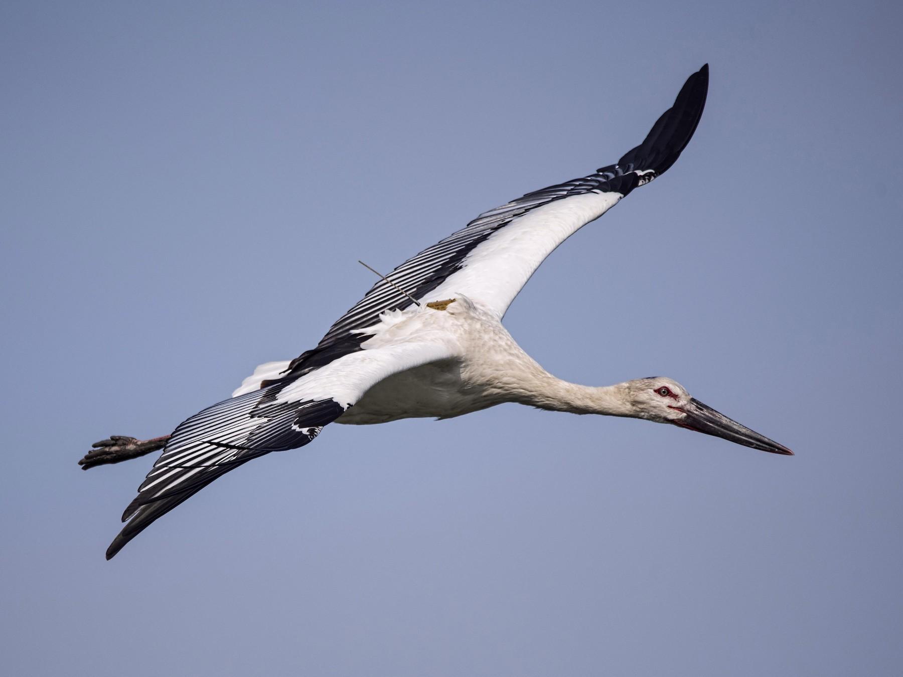 Oriental Stork - Carlos Ibañez