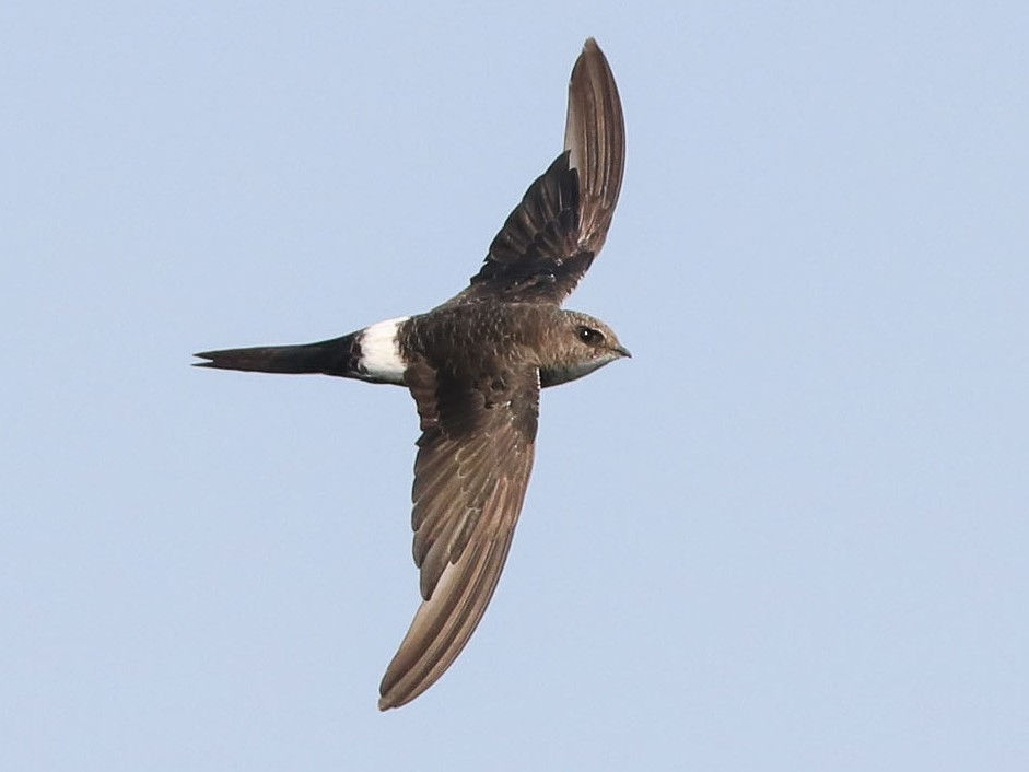 Pacific Swift - Ged Tranter