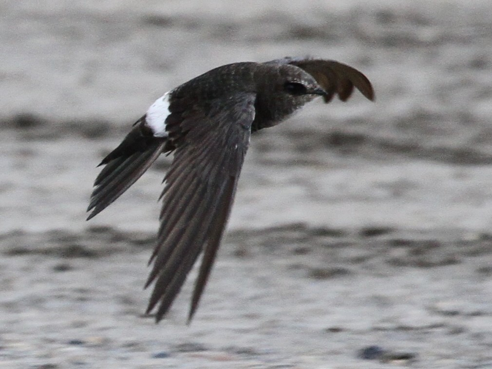 Pacific Swift - Isaac Helmericks