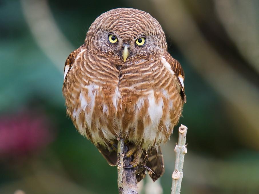 Asian Barred Owlet - Craig Brelsford
