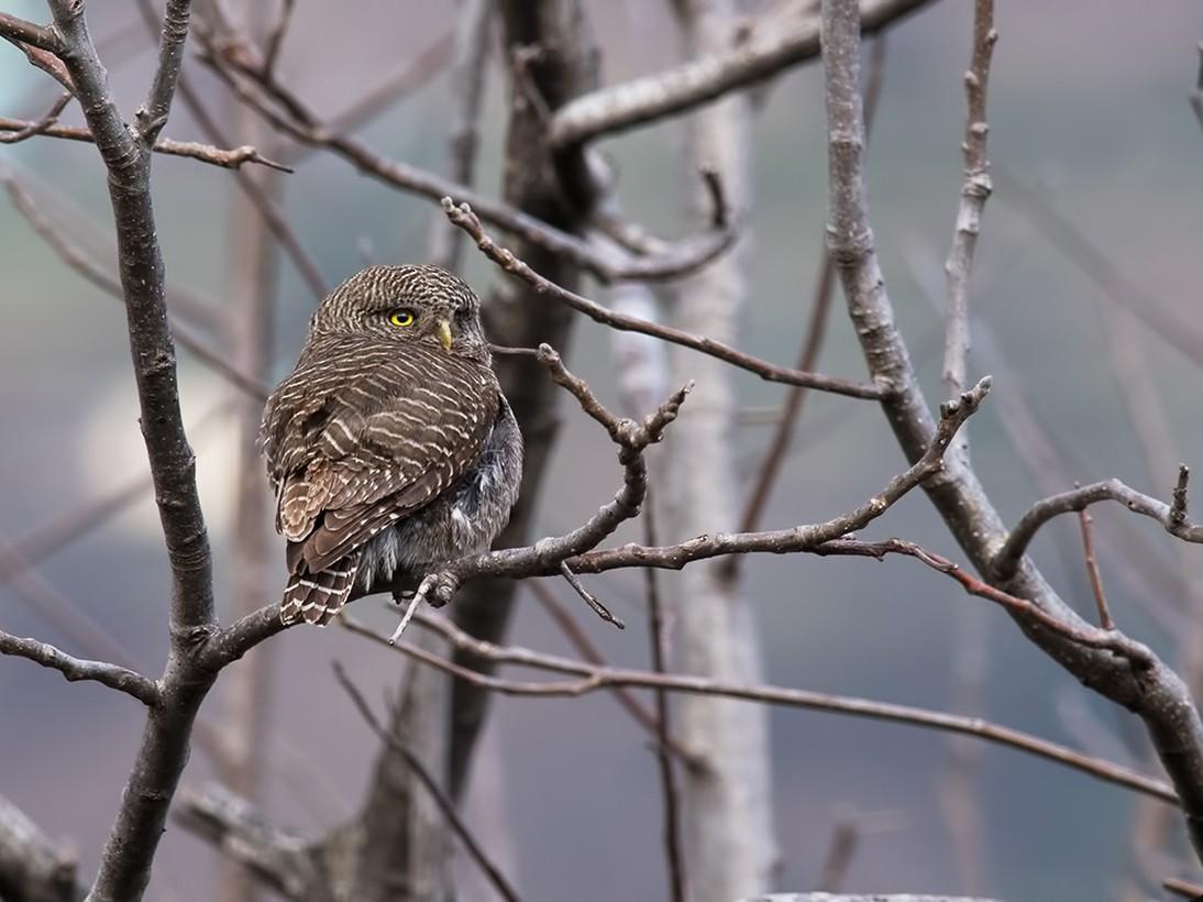 Asian Barred Owlet - Sandip Das